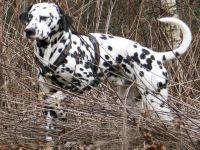 Dalmatier, foto van Wikimedia