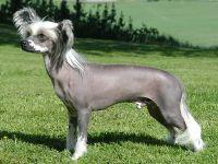 Chinese Naakthond, foto van Wikimedia