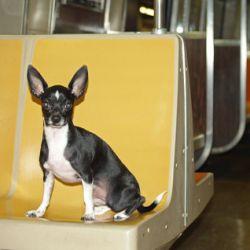 met de hond in het openbaar vervoer, foto van wikimedia